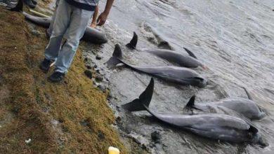 Photo of Misteriosa muerte de 40 delfines en islas Mauricio tras derrame de petróleo