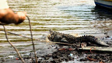 Photo of Imágenes| Liberan a cocodrilo que permaneció 25 años en cautiverio tras su rescate