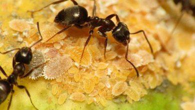 Photo of Con hormigas buscan descubrir si se puede prevenir el envejecimiento reproductivo de la mujer